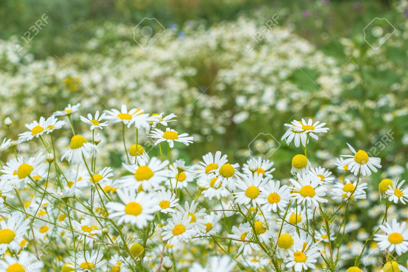 Background Of Flowers Field Of Daisies Stock Photo Picture And
