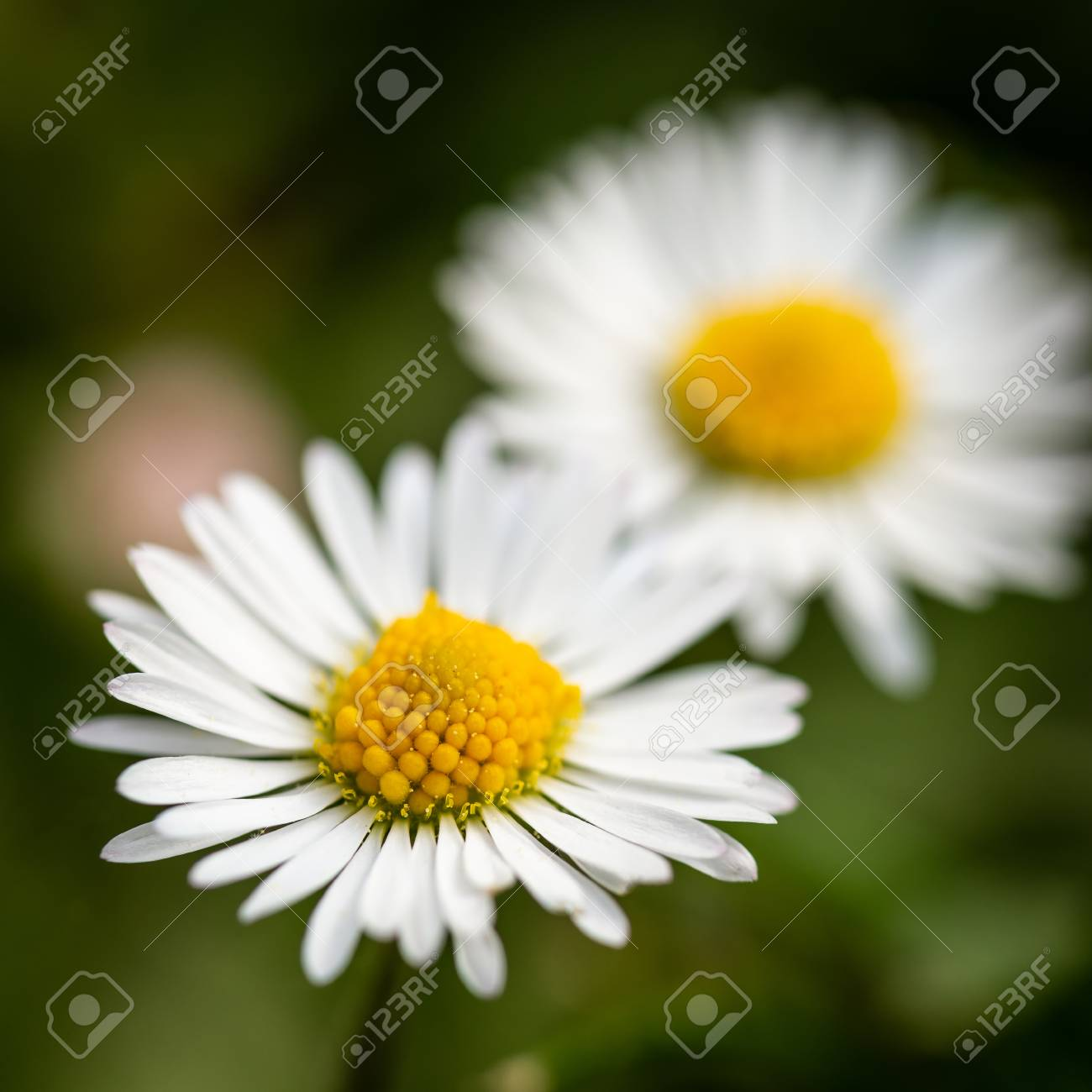 Square Photo With Two Nice Daisies Flowers Have White Leaves