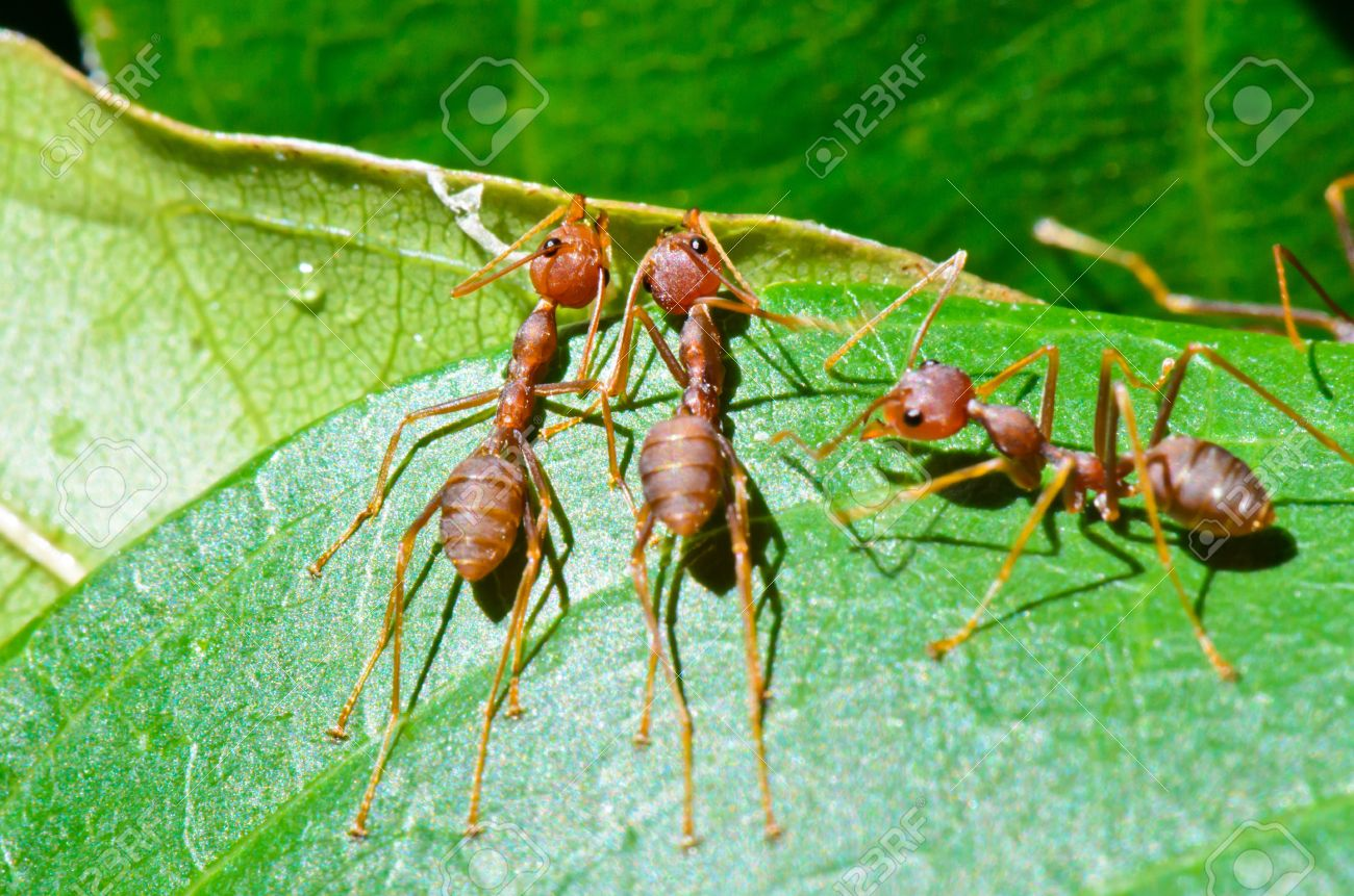 Weaver Ants Oecophylla Smaragdina Are Working Together To Build