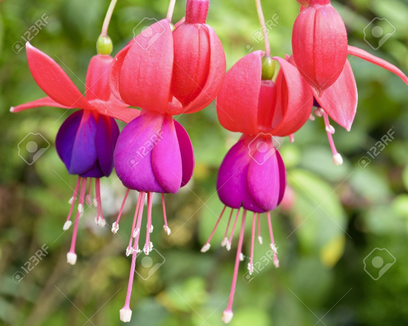 Beautiful exotic flowers that grow and bloom in the cold weather beautiful exotic flowers that grow and bloom in the cold weather or winter of thailand stock izmirmasajfo Images