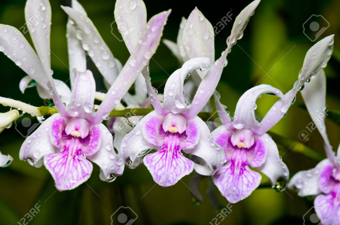 Dendrobium Orchid Hybrids Is White With Pink Stripes In Thailand