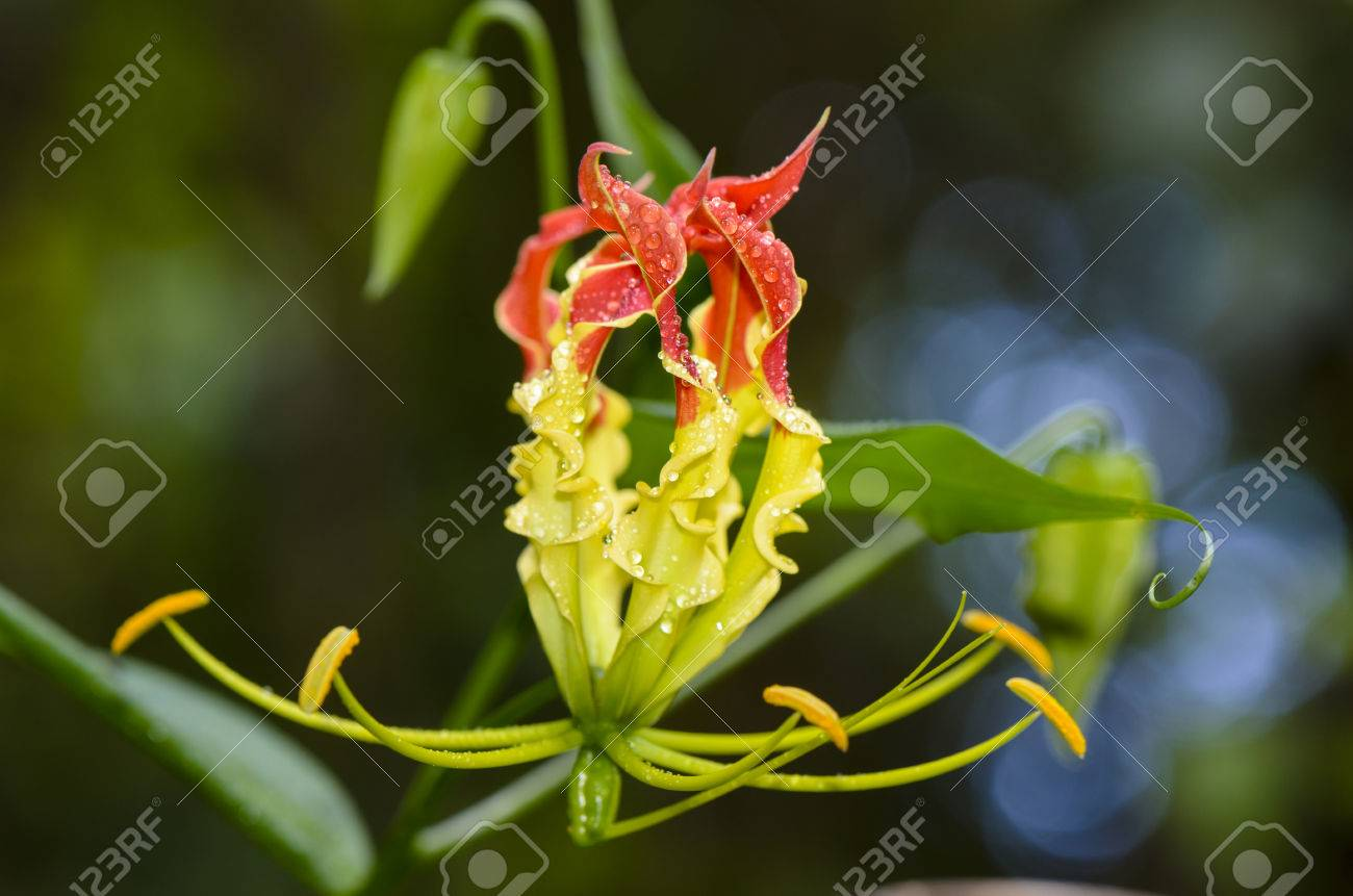 Gloriosa Superba Or Climbing Lily Is A Climber With Spectacular Red