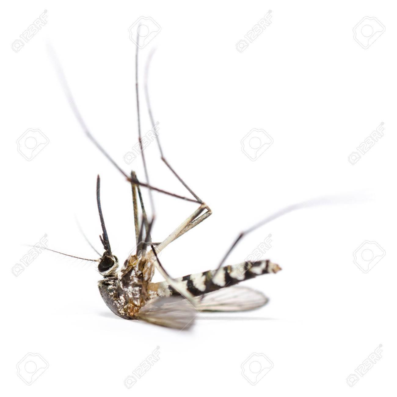 シマカ ヒトスジシマカ死んだ (シマカ albopicta) (アジアのタイガーモスキート