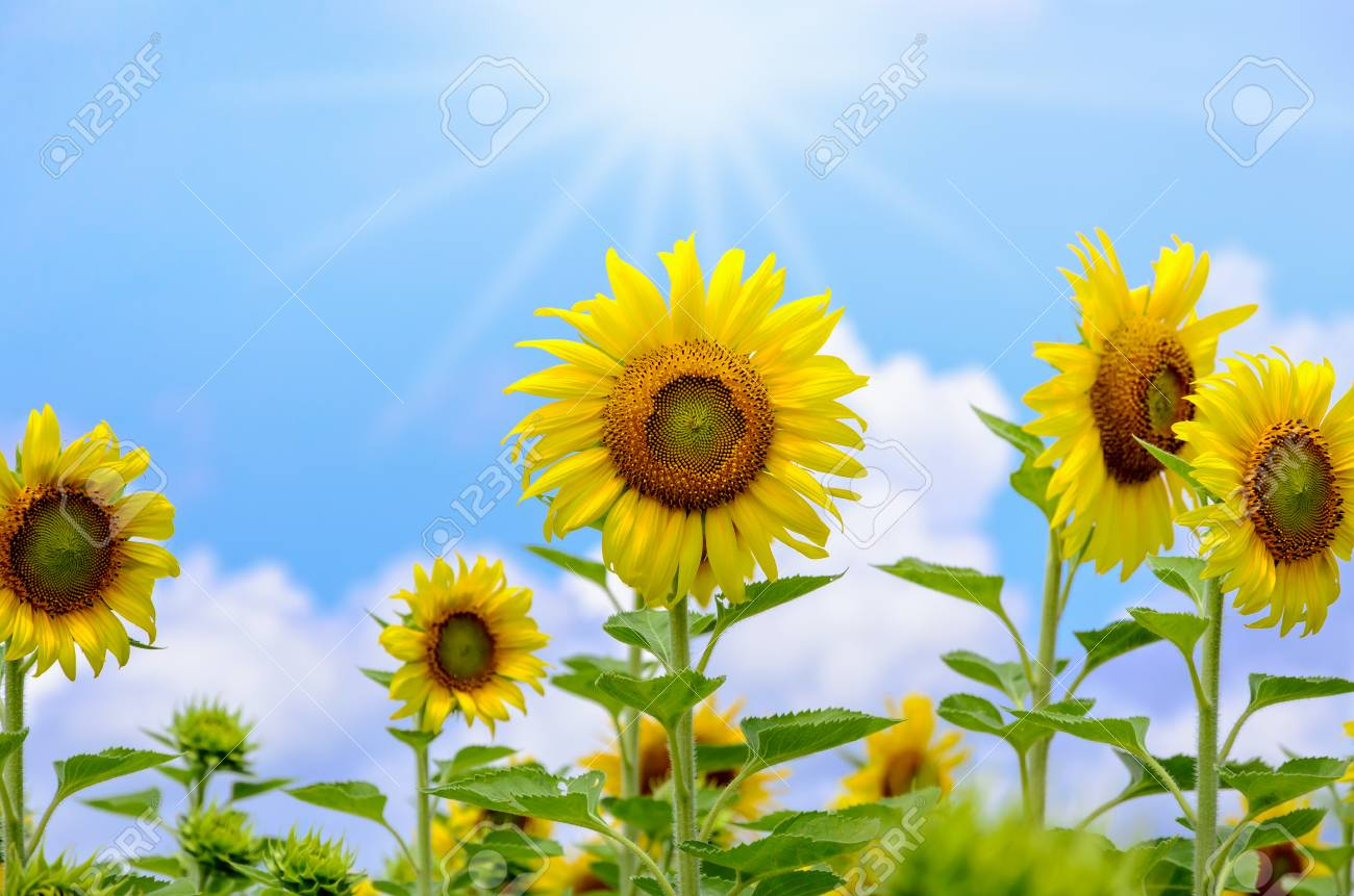 Many Yellow Flower Of The Sunflower Or Helianthus Annuus Blooming ...