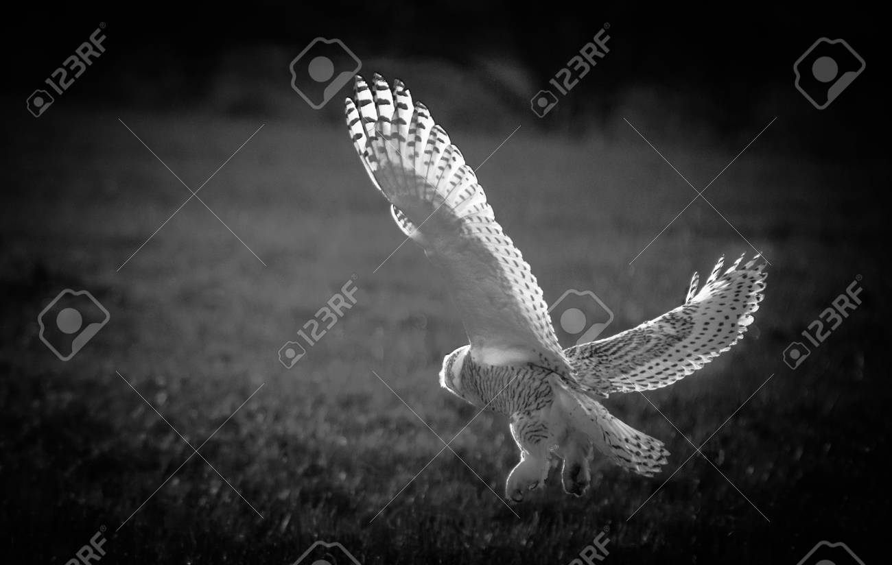Snow owl in black and white stock photo 98792006