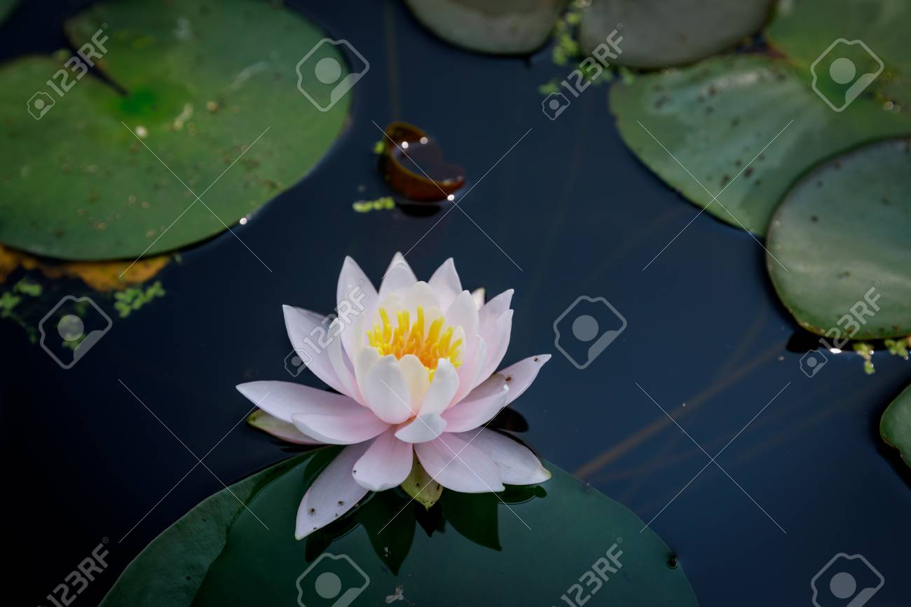 Beautiful lotus flower in pond at summer season stock photo picture beautiful lotus flower in pond at summer season stock photo 83061450 izmirmasajfo