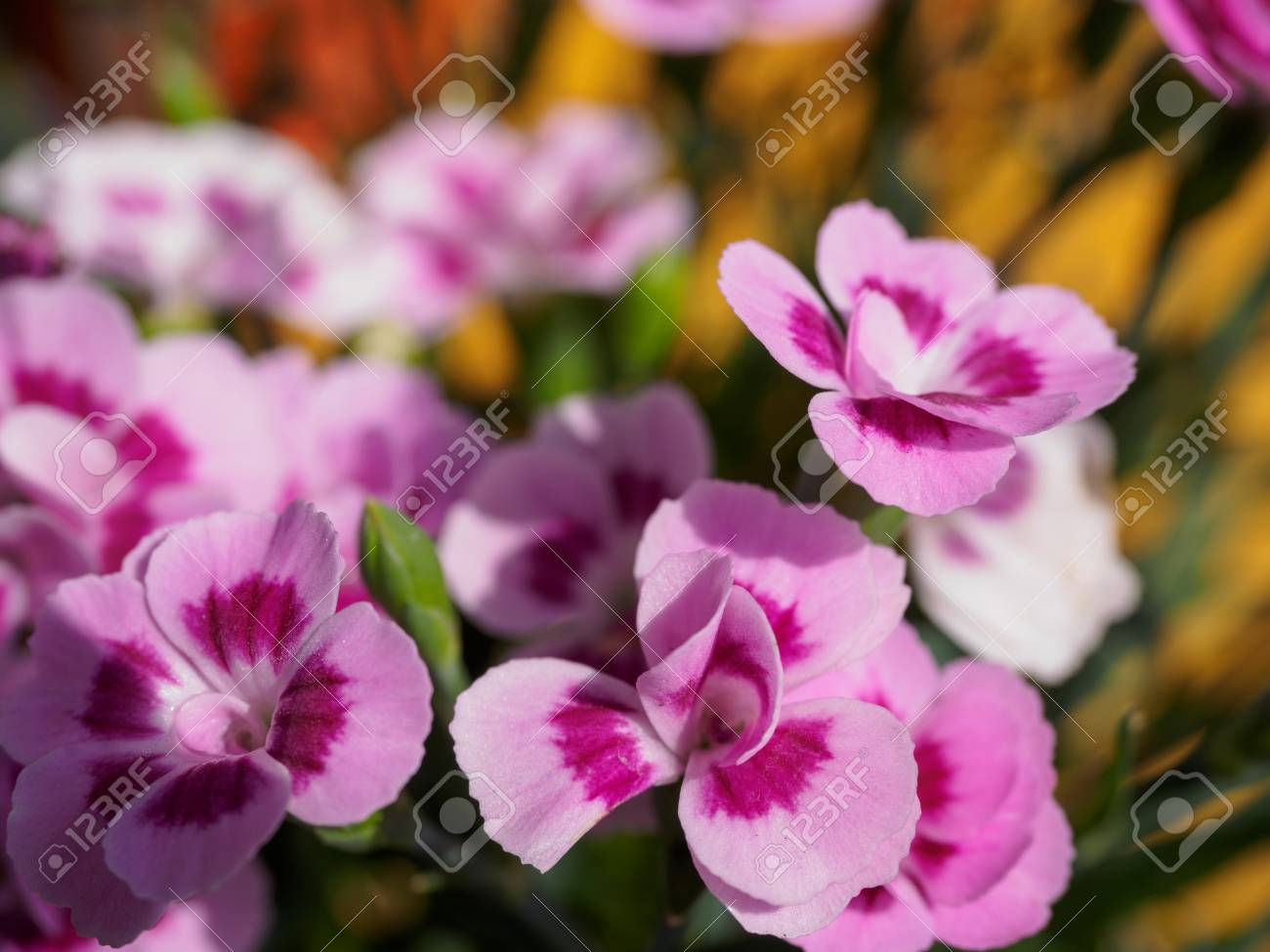 Pink pansy flowers with blur background in the garden stock photo pink pansy flowers with blur background in the garden stock photo 99654958 mightylinksfo