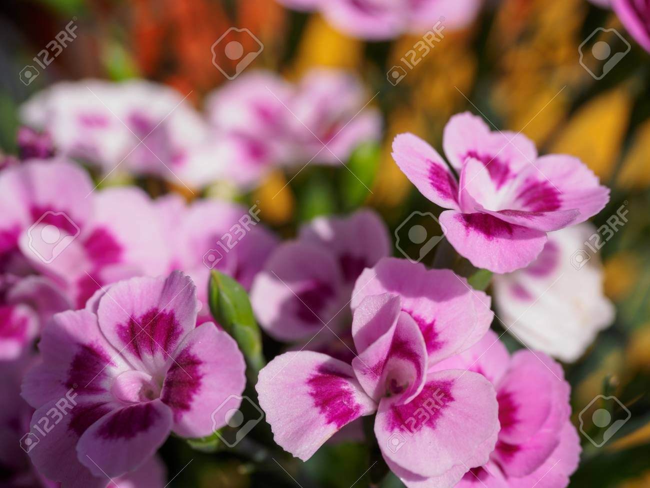 Pink pansy flowers with blur background in the garden stock photo pink pansy flowers with blur background in the garden stock photo 99710606 mightylinksfo Choice Image