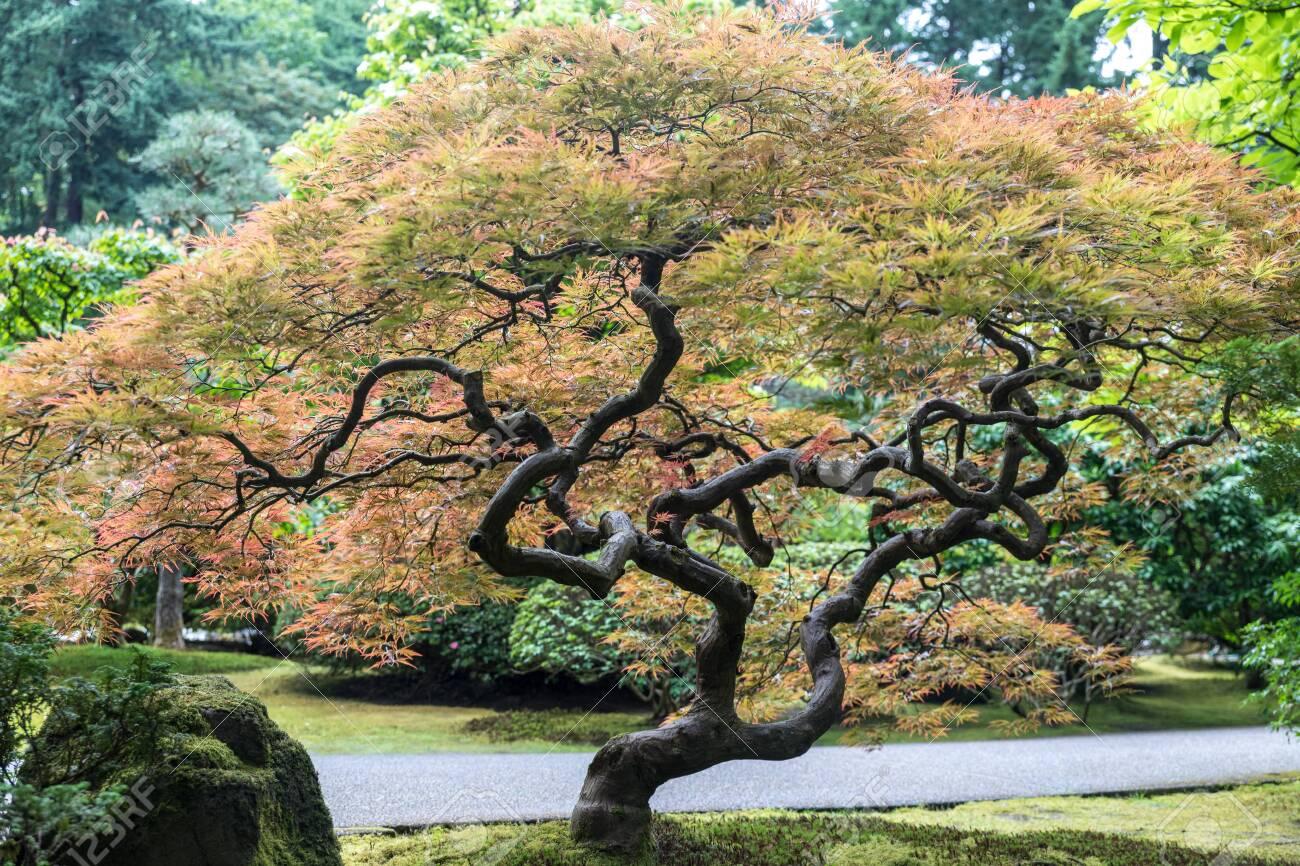 Colorful Bonsai Tree Japanese Garden In Washington Park Portland