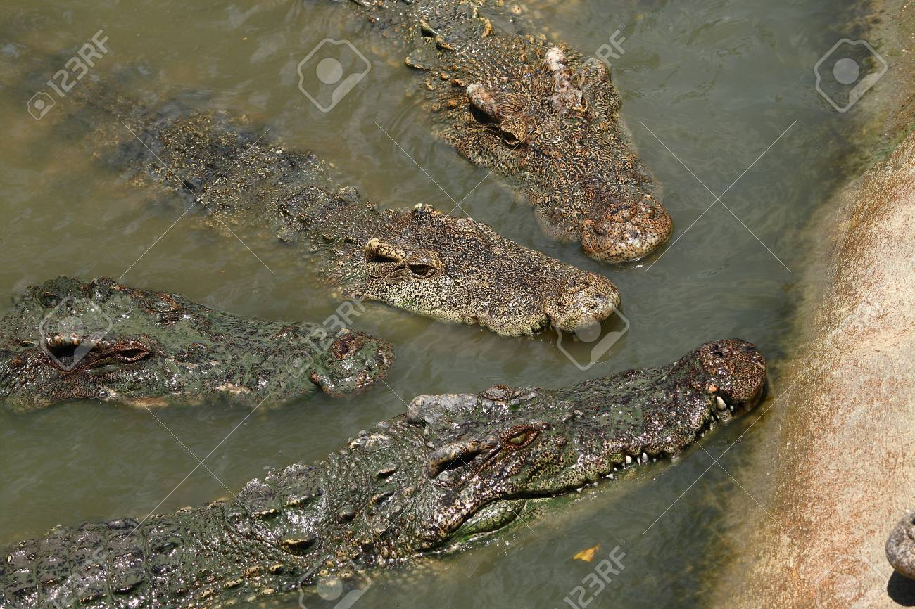 crocodiles show in Nakhonprathom zoo asia Stock Photo - 4724568