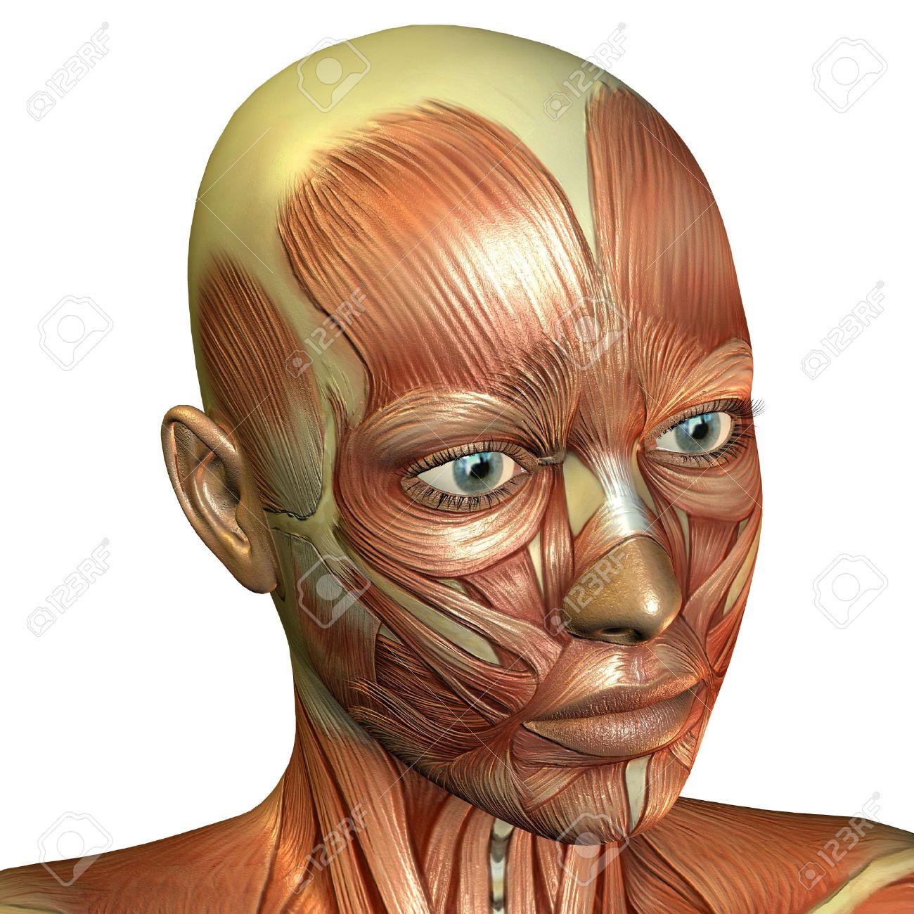 Lujo Rostro Humano Anatomía Muscular Fotos - Anatomía de Las ...