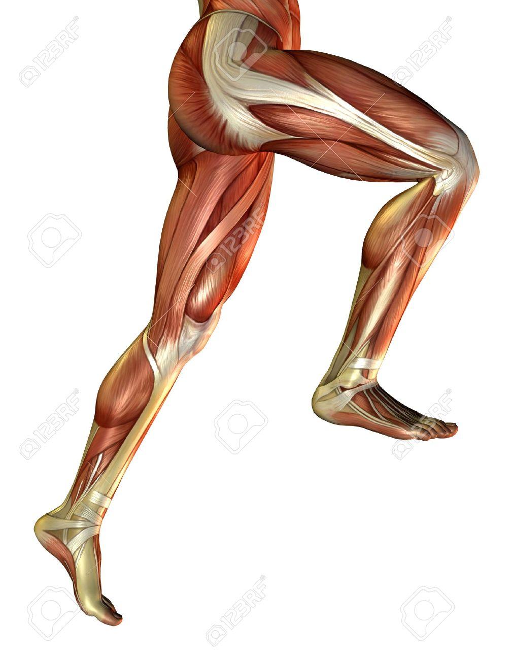 Representación 3D de los músculos de la pierna masculina  Foto de archivo - 7877665