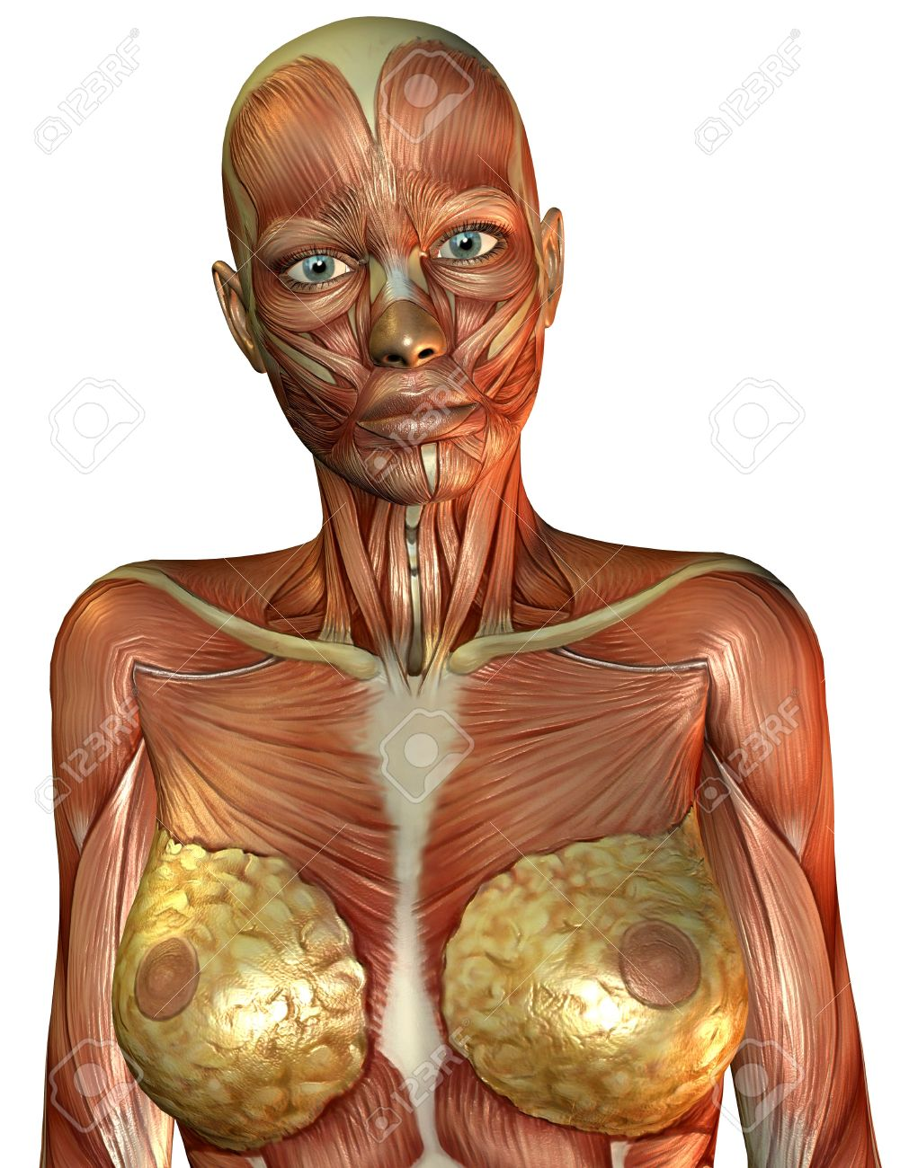 3D Rendering Of The Muscle Of The Female Torso Stock Photo, Picture ...