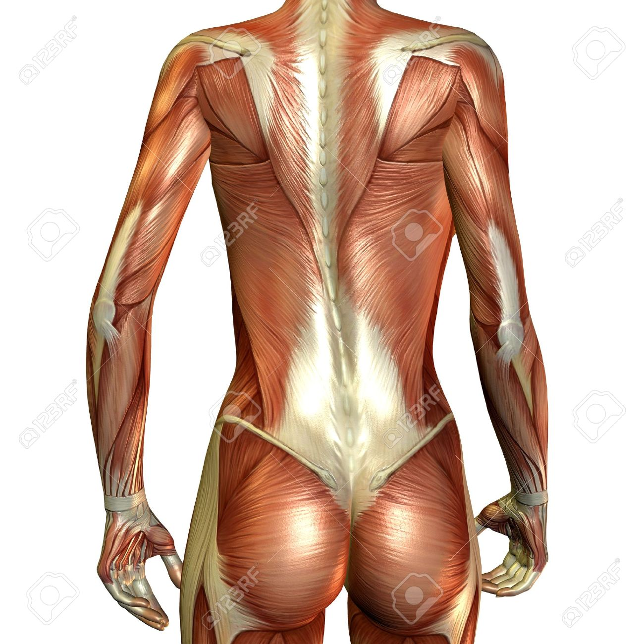 3D Render Of Muscle Of A Female Back Stock Photo, Picture And ...