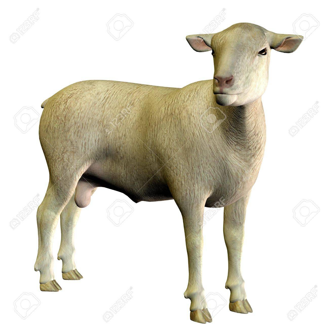 3D rendering of a standing sheep Stock Photo - 7958058