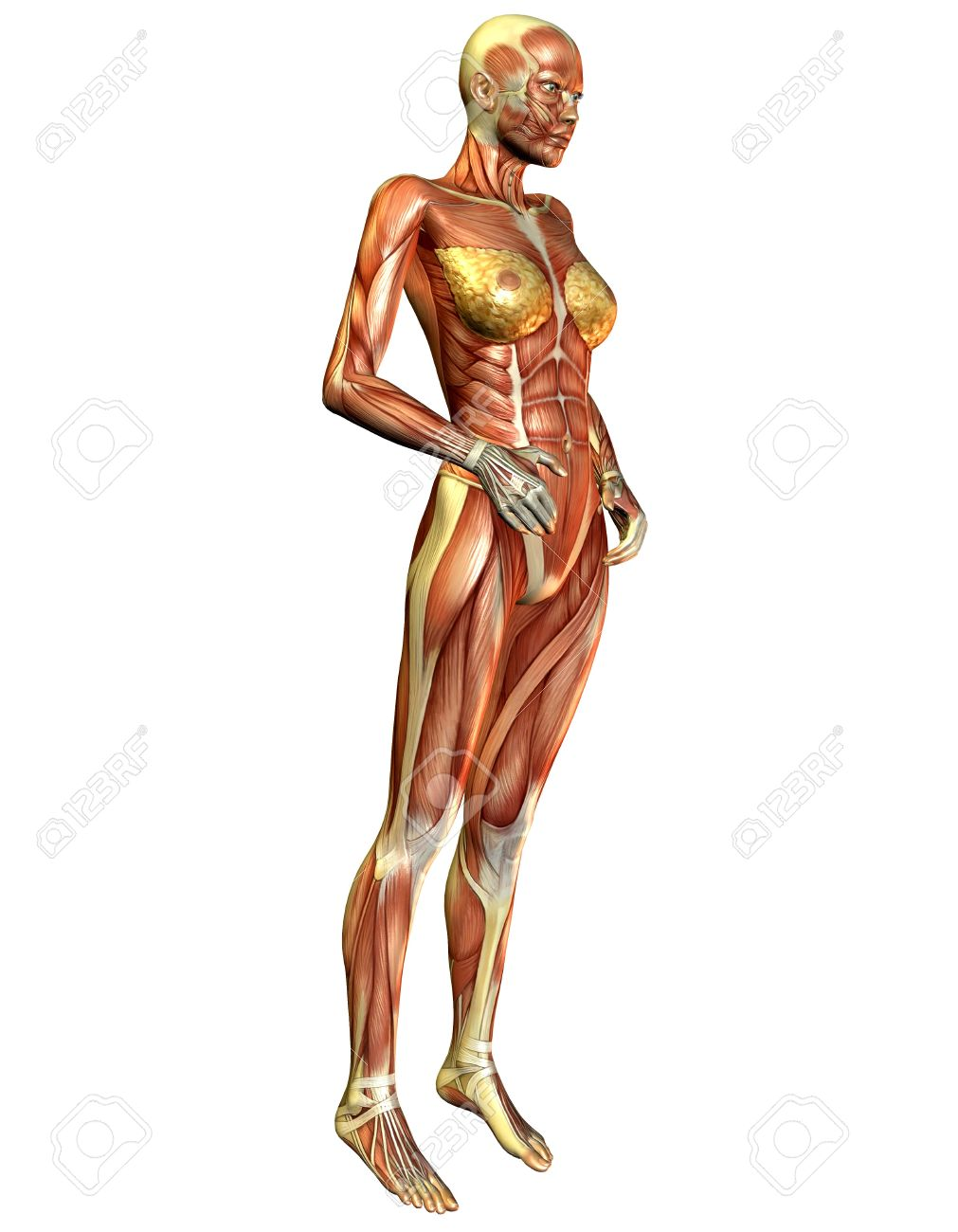 3d Rendering Of The Female Muscle From The Side Stock Photo Picture
