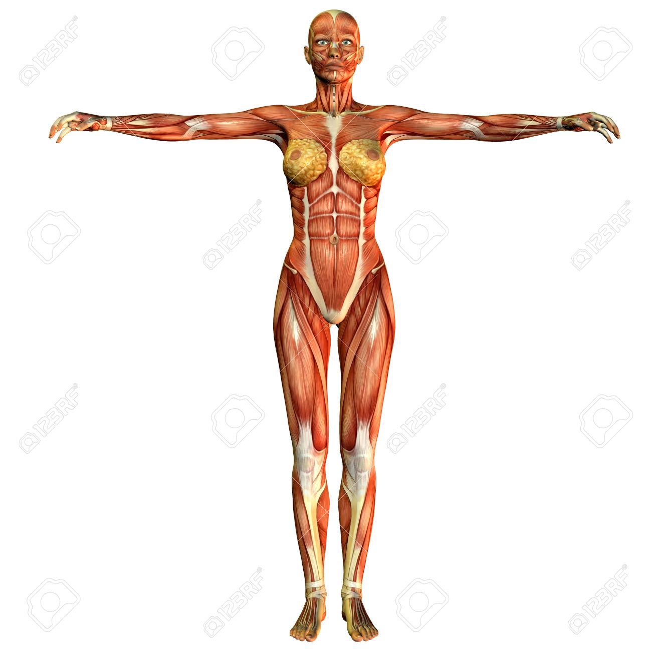 3D Rendering Of A Study Of The Female Body Muscular Front View Stock ...