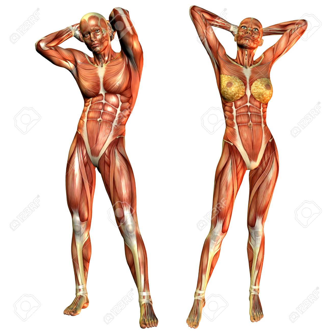 D Rendering Of The Female And Male Muscle Course In A Standing ...