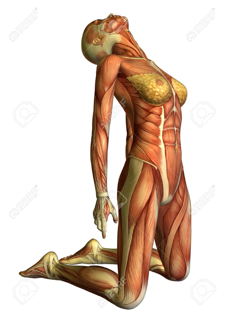 9,352 female muscle stock illustrations, cliparts and royalty free, Muscles