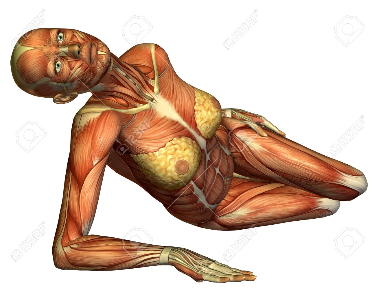 3D rendering muscle female body lying Stock Photo - 8544563