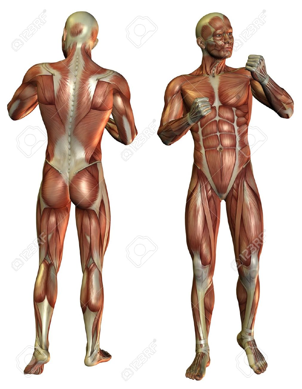 3D Rendering Muscle Man in the fighters pose in front and rear Stock Photo - 10050104