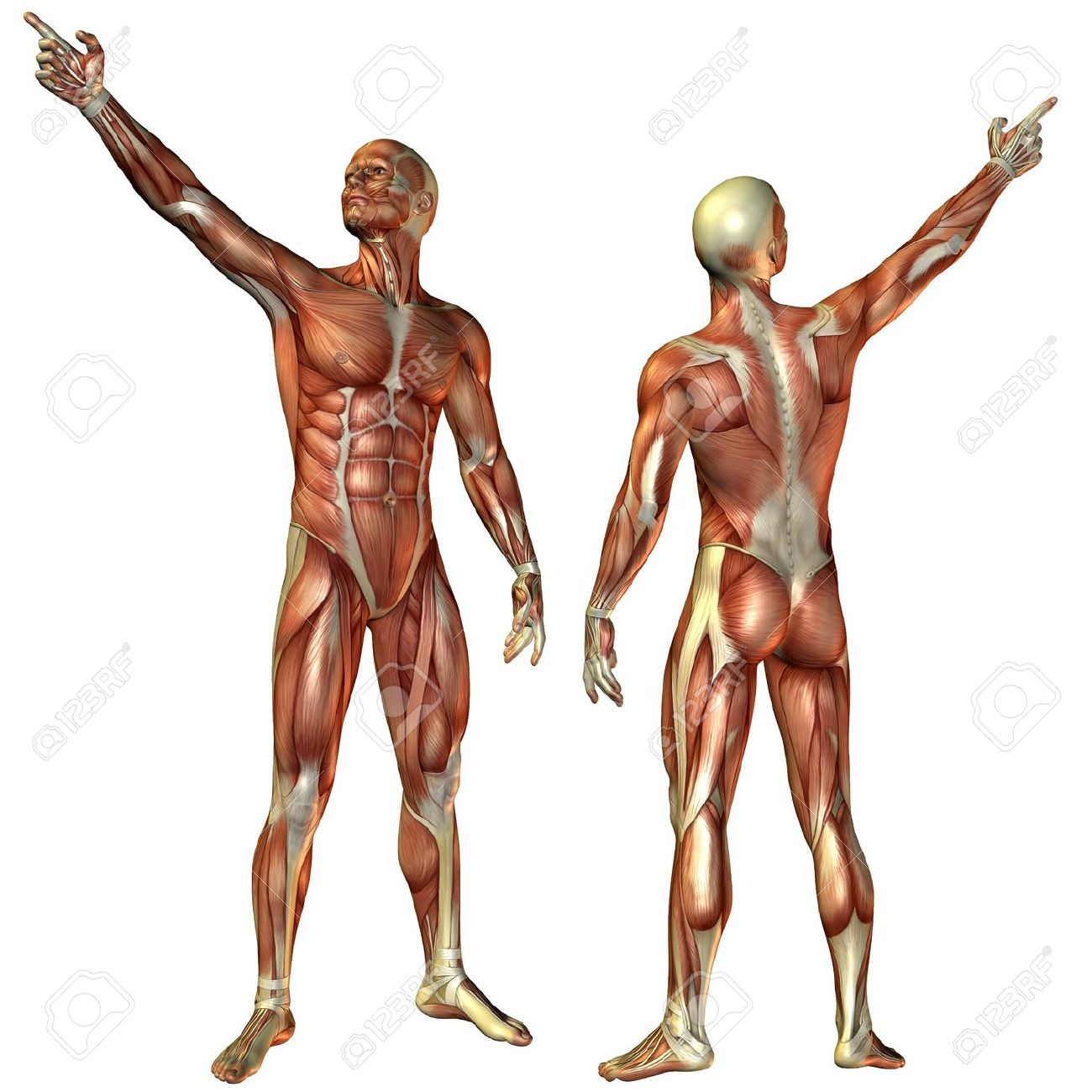 3D Rendering Muscle Man From The Front And Rear Structure Stock ...
