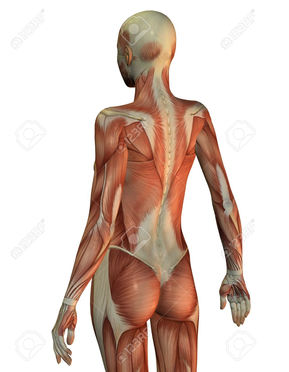 3d Rendering Of A Female Upper Body From Behind Stock Photo Picture
