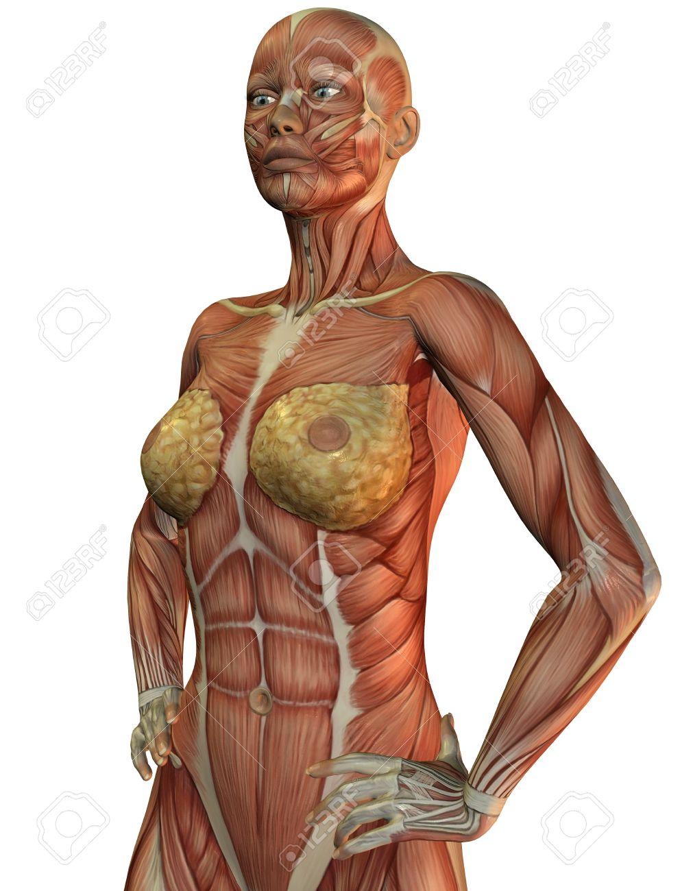 Representación 3D De La Anatomía Y De Los Músculos De Una Mujer ...