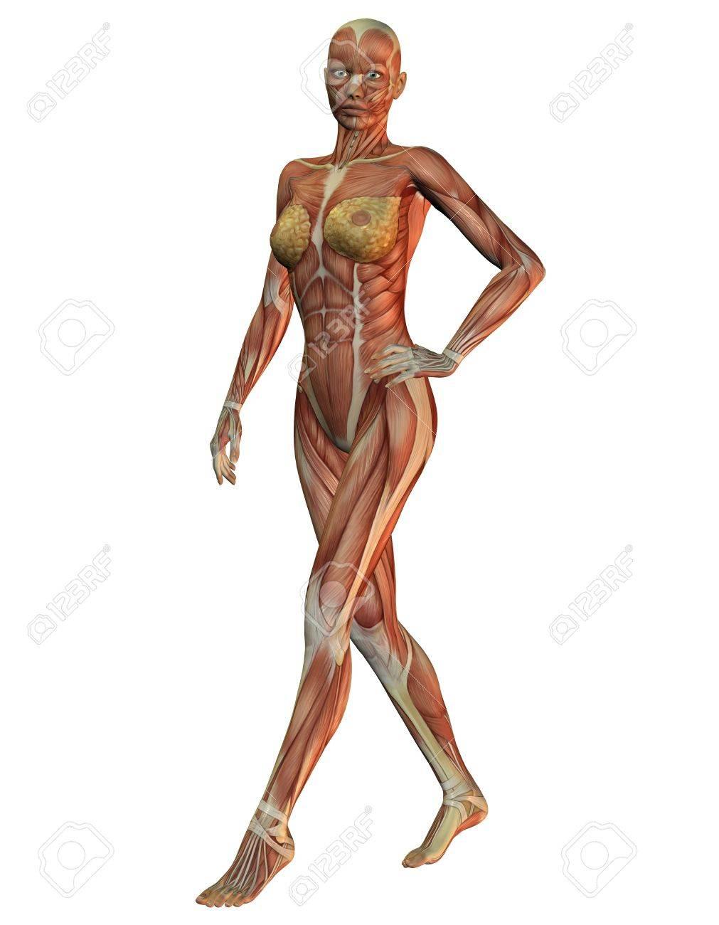 Representación 3D De La Anatomía De Los Músculos Y La Mujer ...