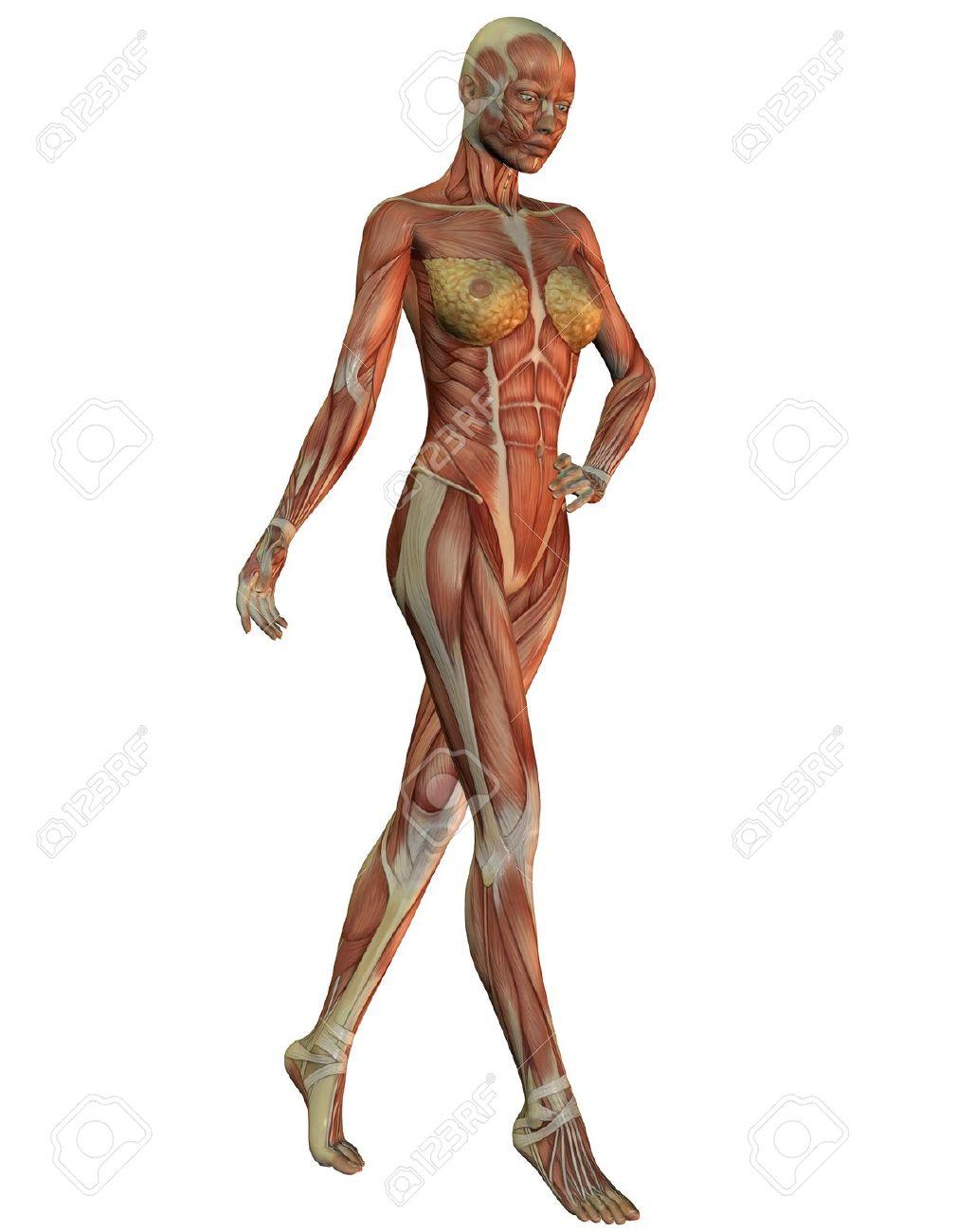 Representación 3D De La Anatomía Y La Musculatura De La Mujer En La ...