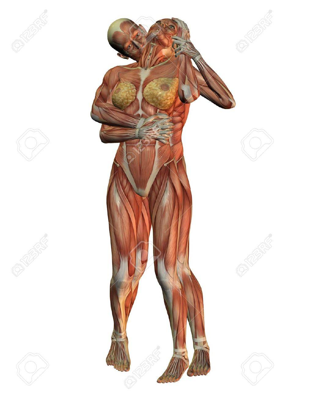 3d Rendering Of The Anatomy And Muscular Structure Of The Human