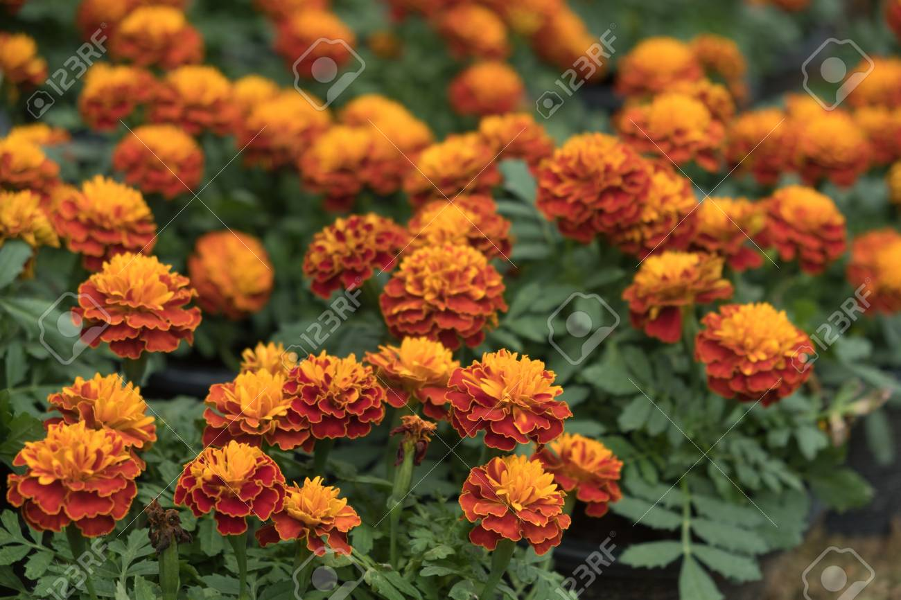 Beautiful Orange Marigold Flowers Tagetes Erecta Mexican Marigold