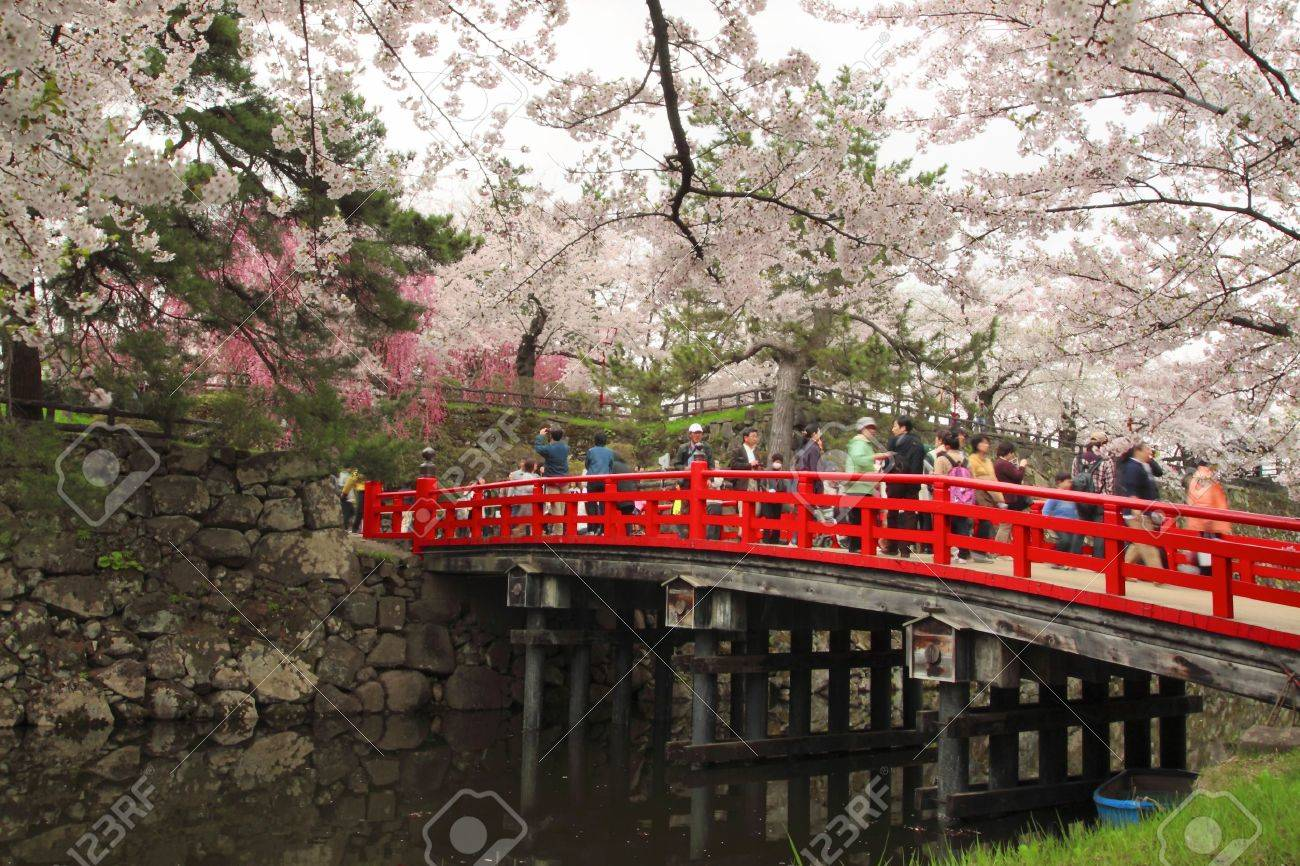 full bloomed cherry blossoms in hirosaki park stock photo 11691404