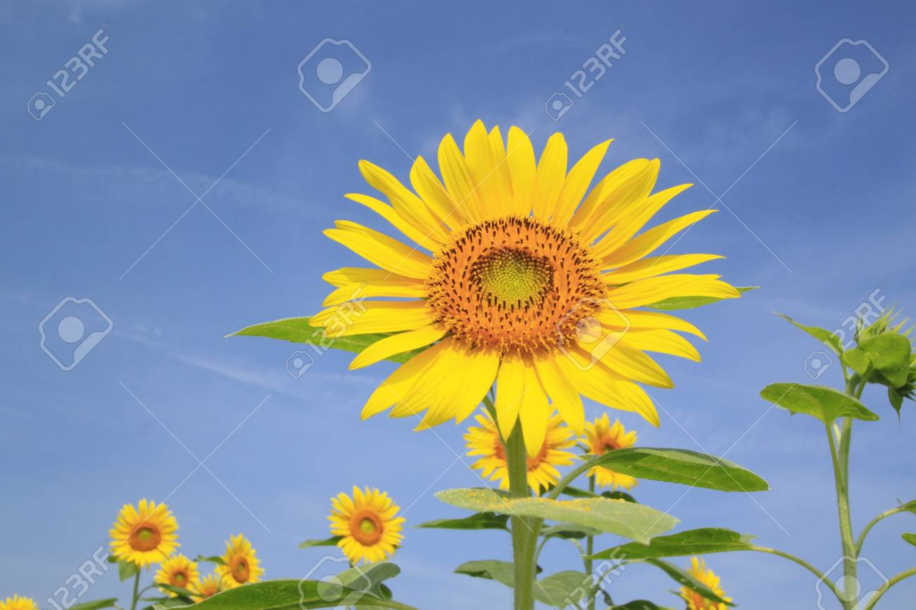 Close up sunflowers in the field in summer Stock Photo - 14845044