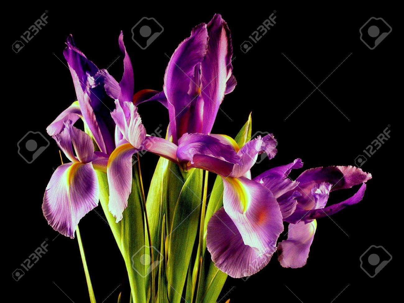 A bunch of purple iris flowers in bloom on a black background. Stock Photo - 310832