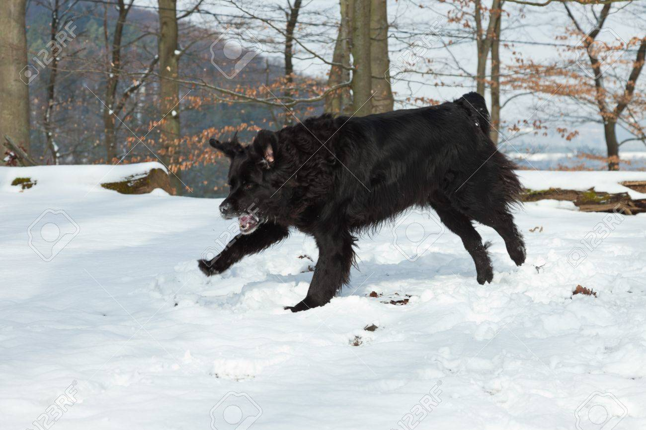 Mixed breed black dog in the snow  Labrador and Berner Sennen Stock Photo - 18627194