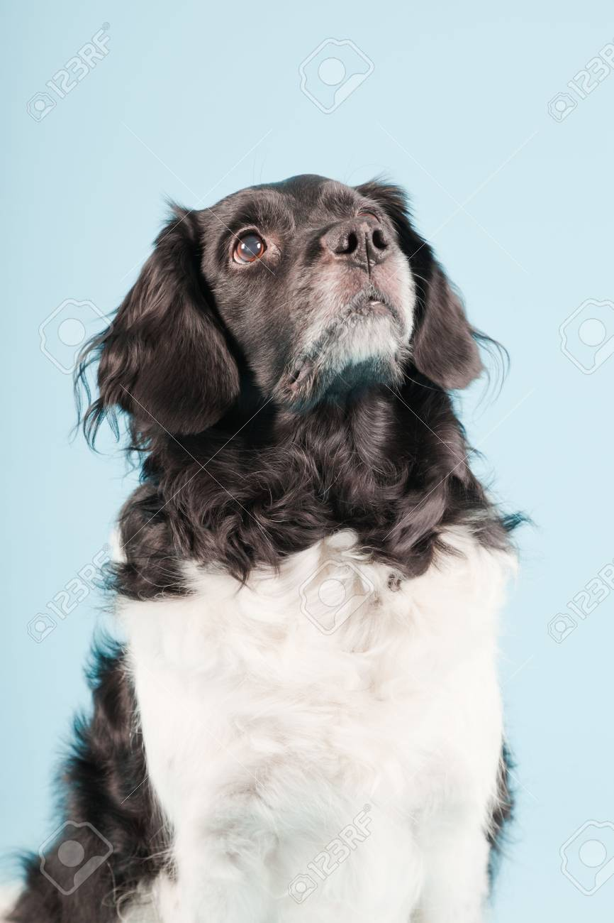 Studio portrait of Stabyhoun or Frisian Pointing Dog isolated on light blue background Stock Photo - 20226442