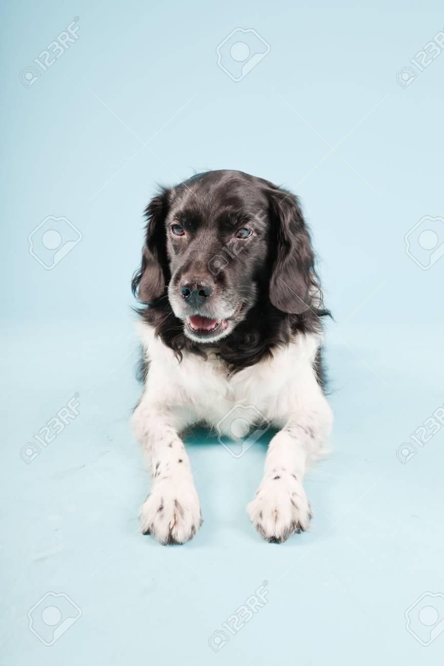 Studio portrait of Stabyhoun or Frisian Pointing Dog isolated on light blue background Stock Photo - 20226238