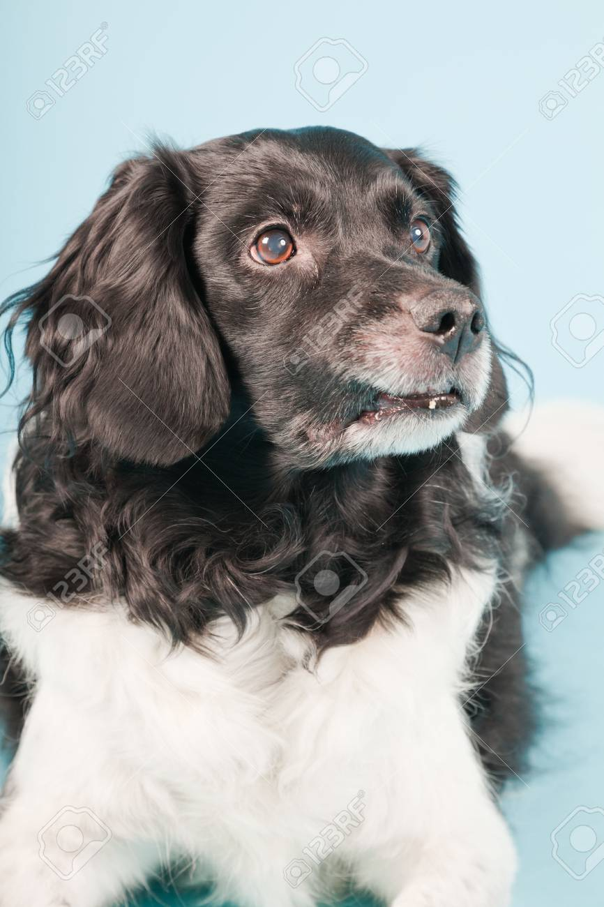 Studio portrait of Stabyhoun or Frisian Pointing Dog isolated on light blue background Stock Photo - 20226479
