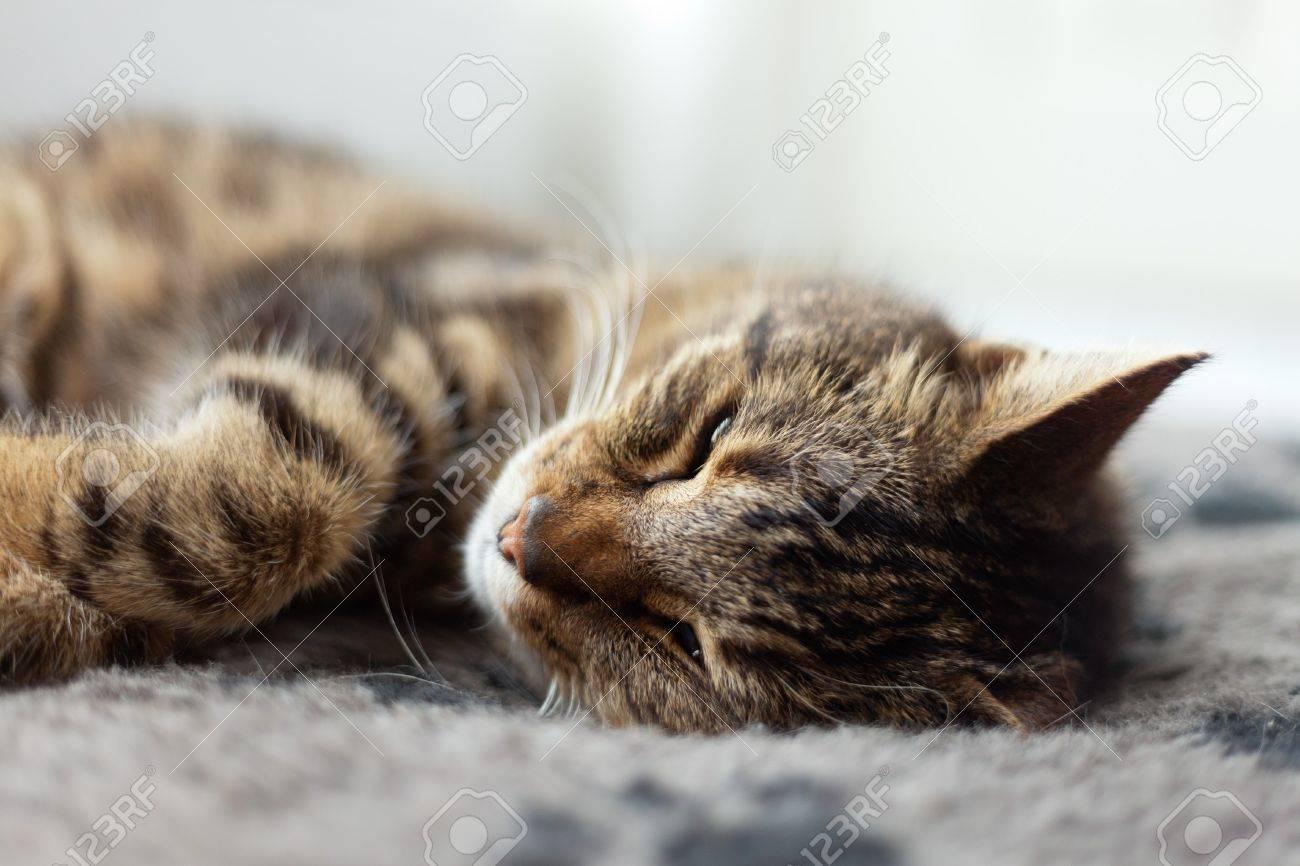 Lazy Tabby Cat Sleeping On Grey Rug. Stock Photo   21179667