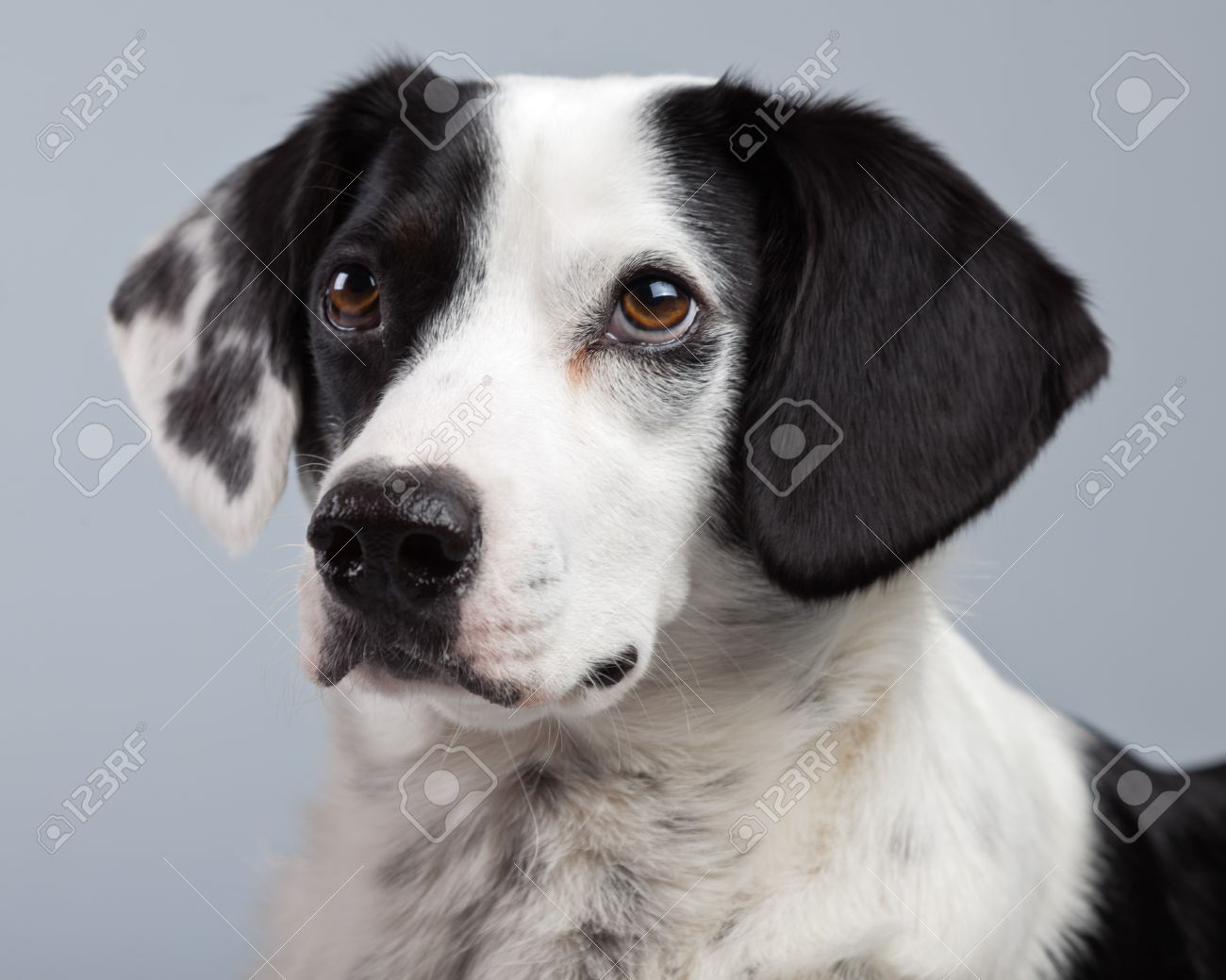 Mixed breed black and white spotted dog isolated against grey background light brown eyes