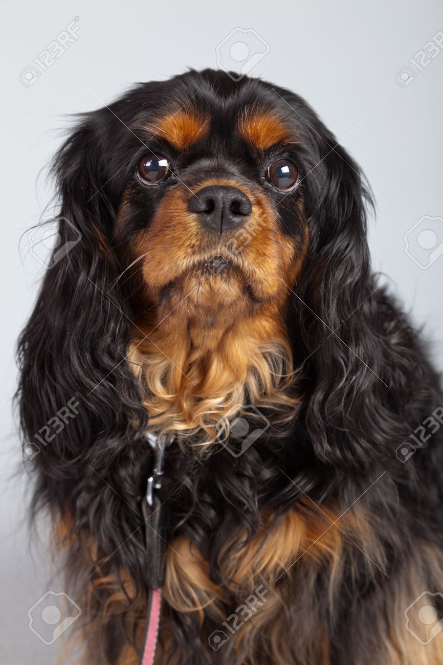 senior cavalier king charles spaniel black and brown isolated