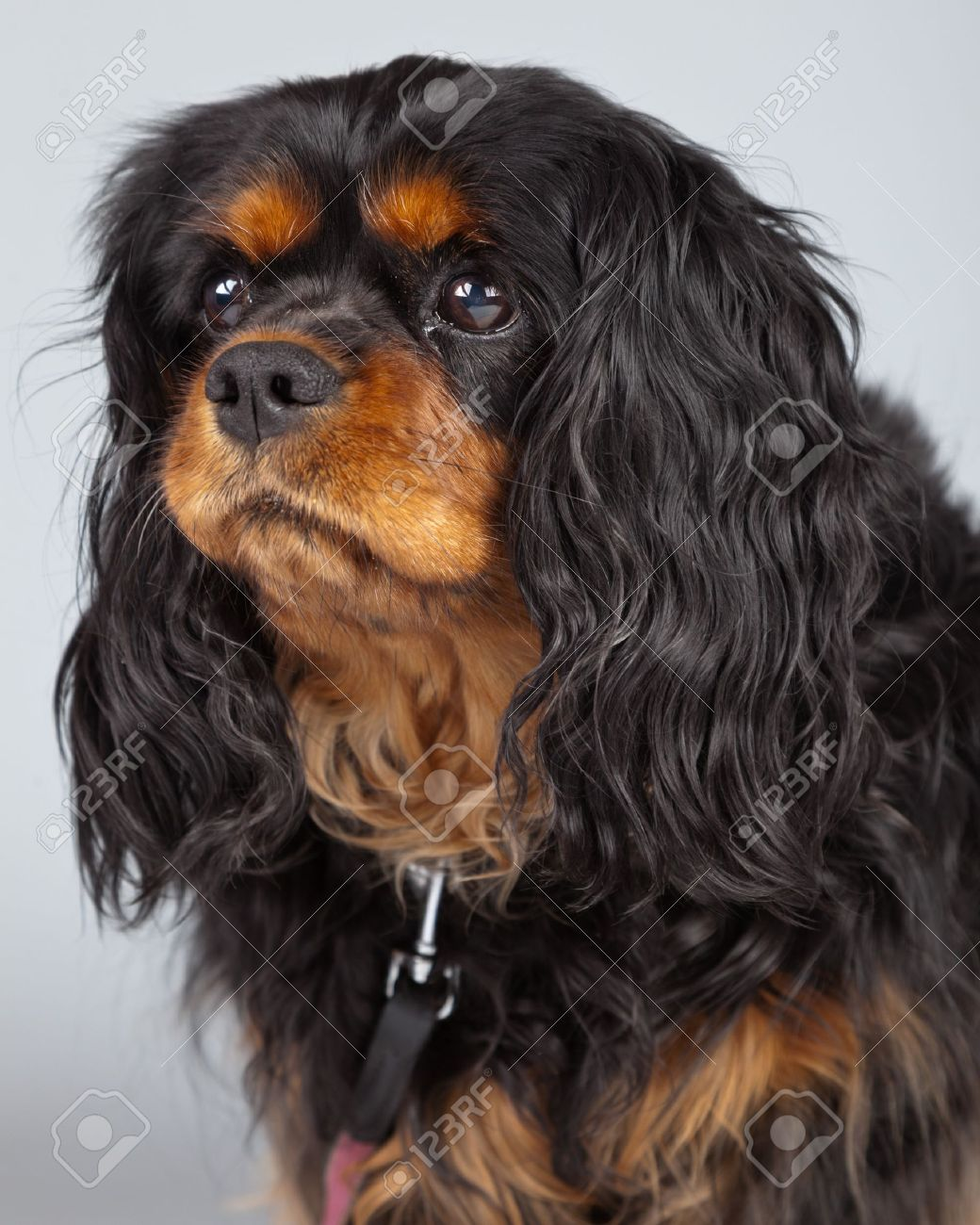 Senior cavalier king charles spaniel black and brown isolated senior cavalier king charles spaniel black and brown isolated against grey background studio portrait thecheapjerseys Image collections