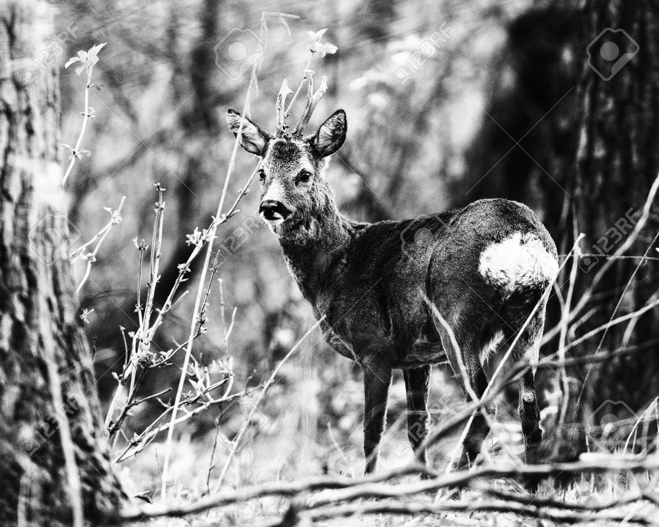 Old black and white photo of roe deer buck between trees in forest