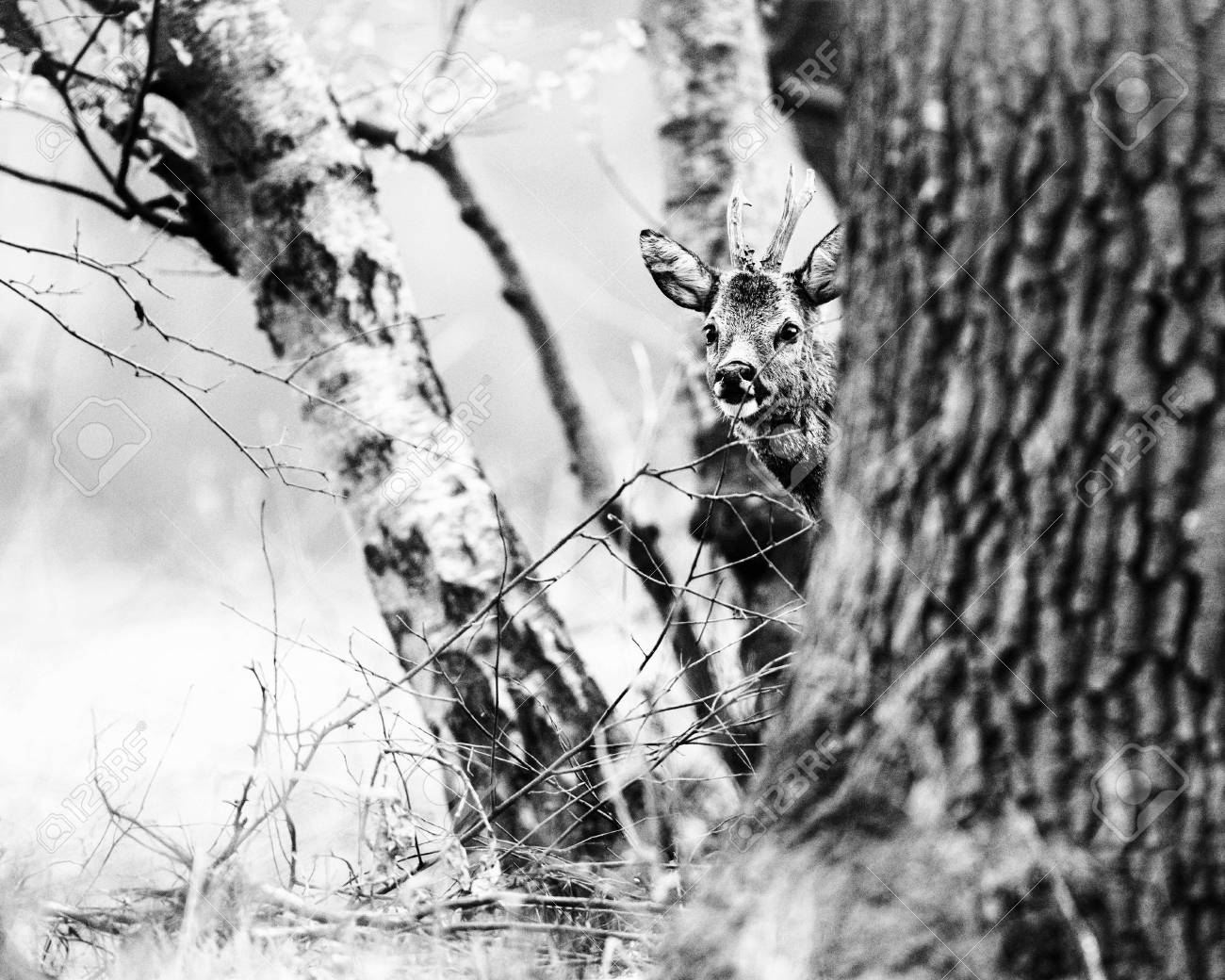 Old black and white photo of curious roe deer buck peeking behind tree stock photo