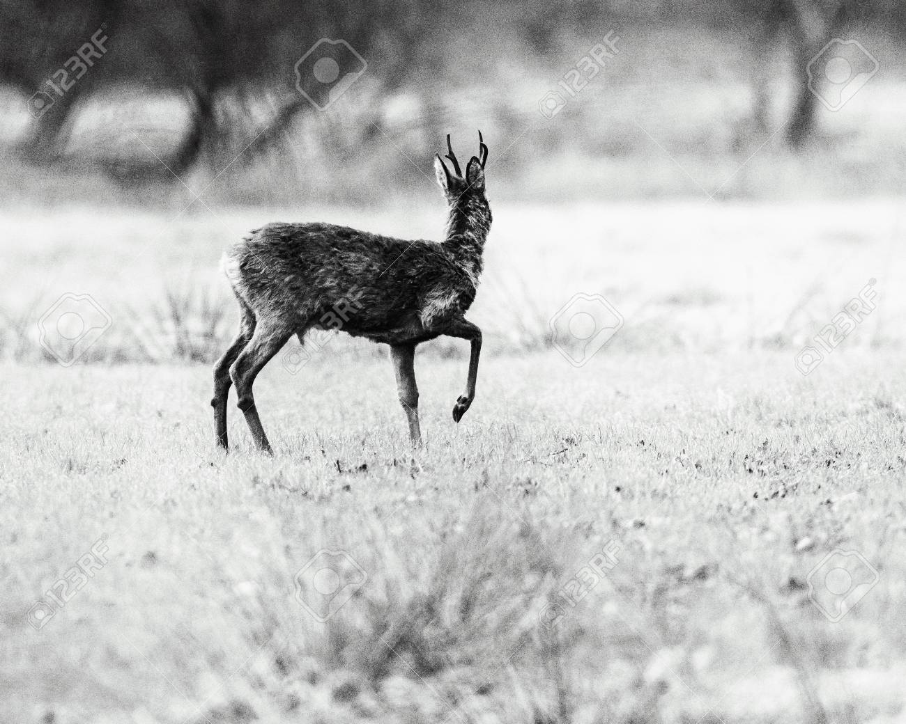 Old black and white photo of roe deer buck with one front leg