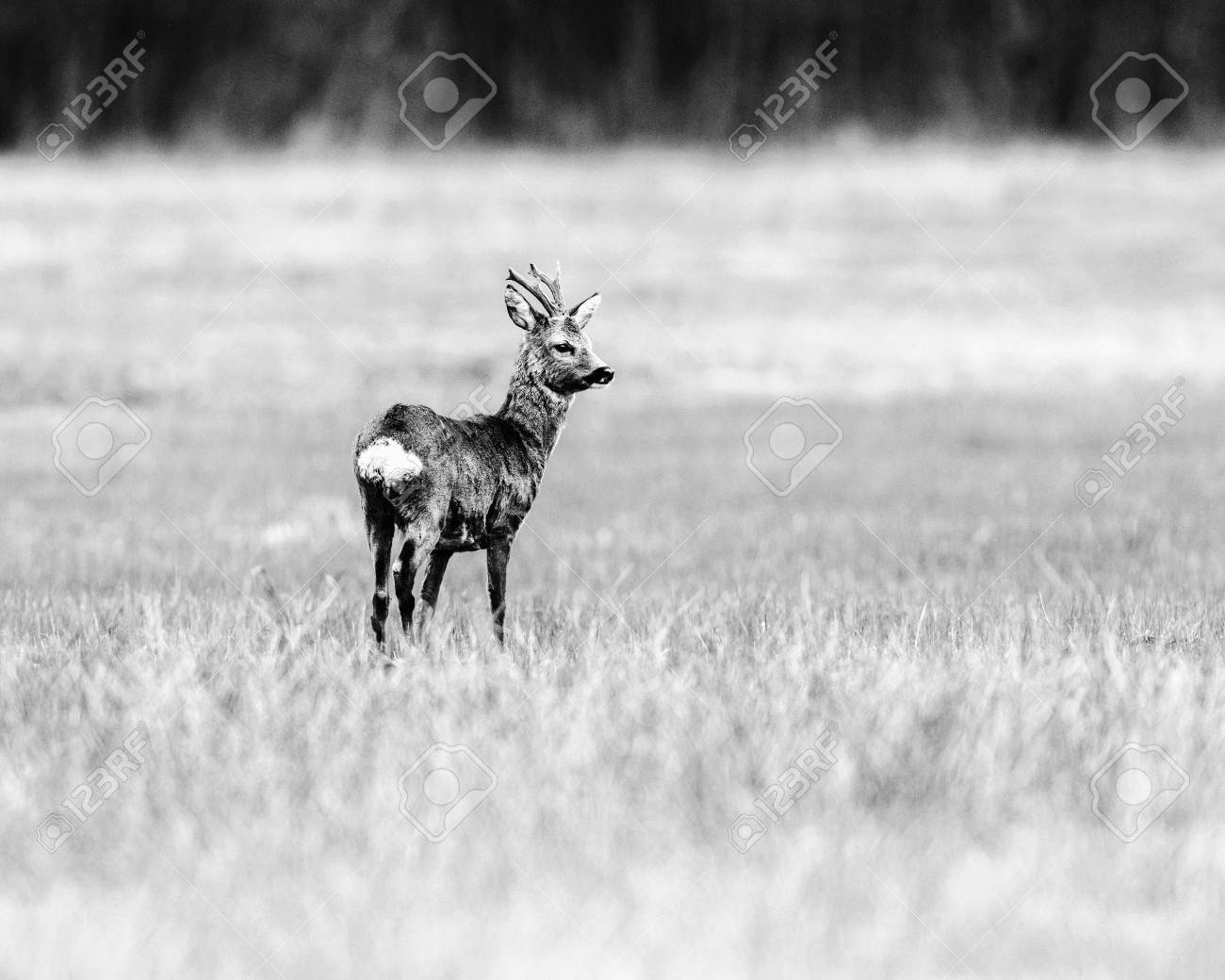 Old black and white photo of roe deer buck standing in meadow