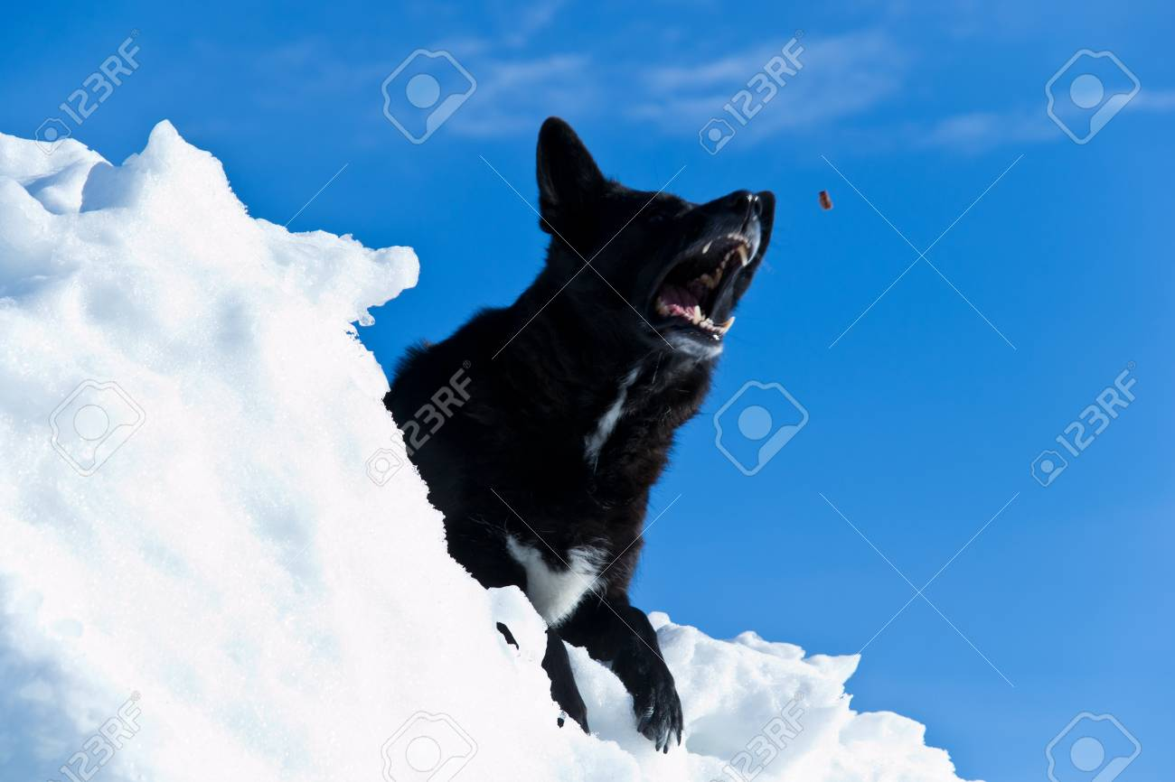 Black dog who is about to catch a bite to eat Stock Photo - 12584696