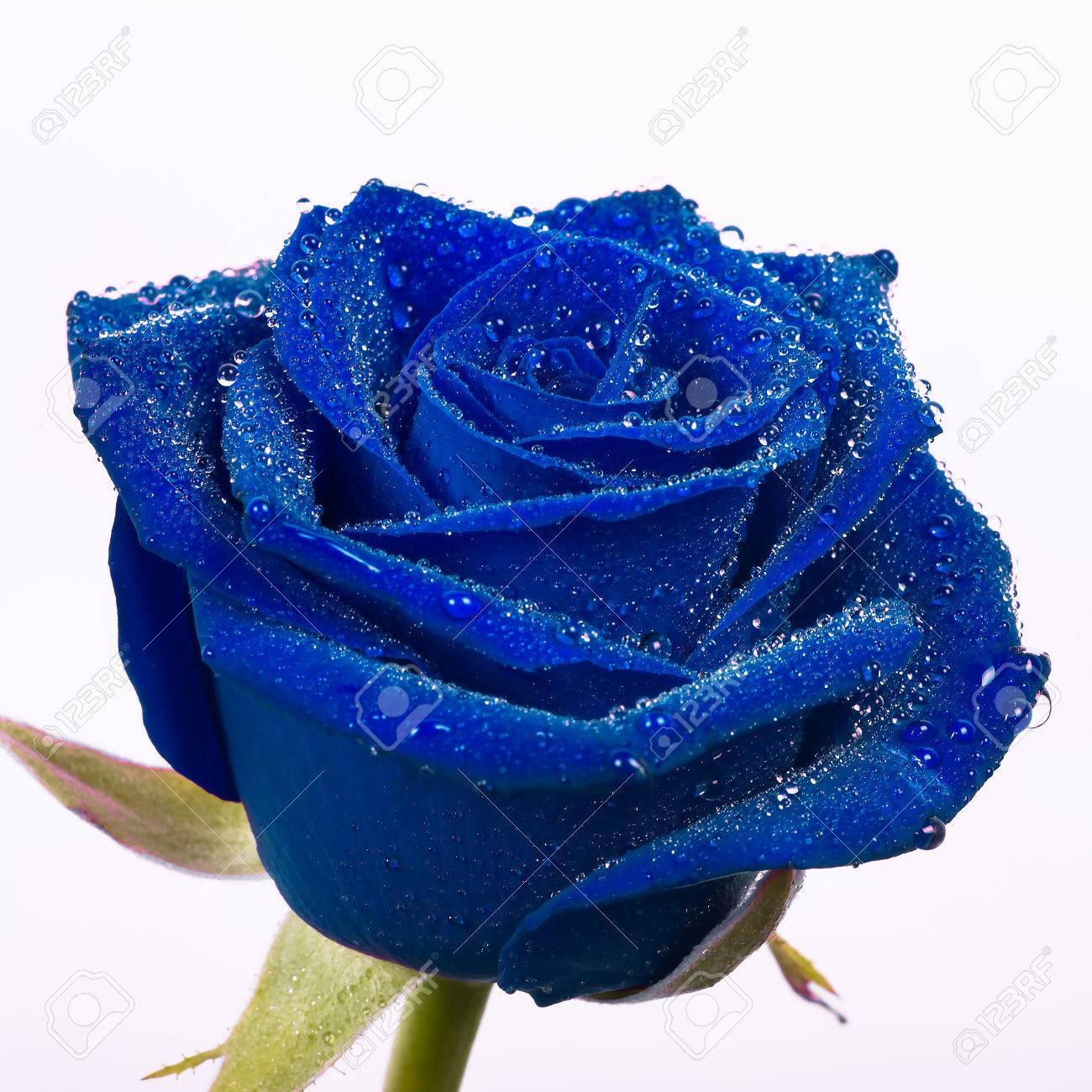 Blue rose stock photos royalty free business images beautiful blue rose with water drops and a white background buycottarizona
