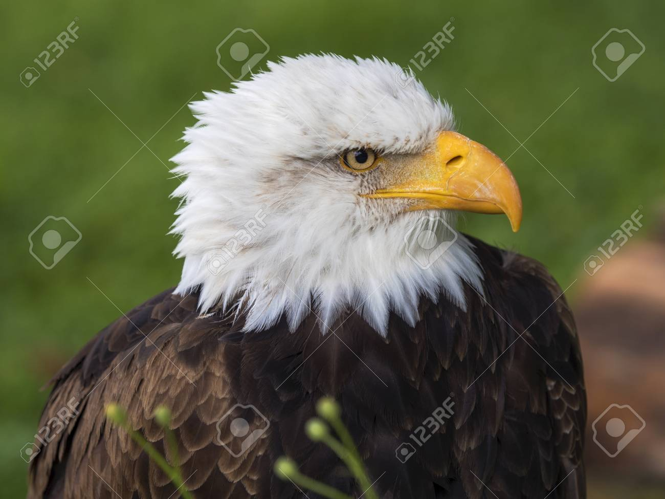Bald Eagle Famous For Being The National Symbol Of The United